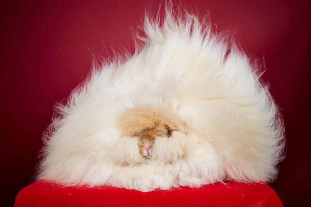 lange haar bij konijn