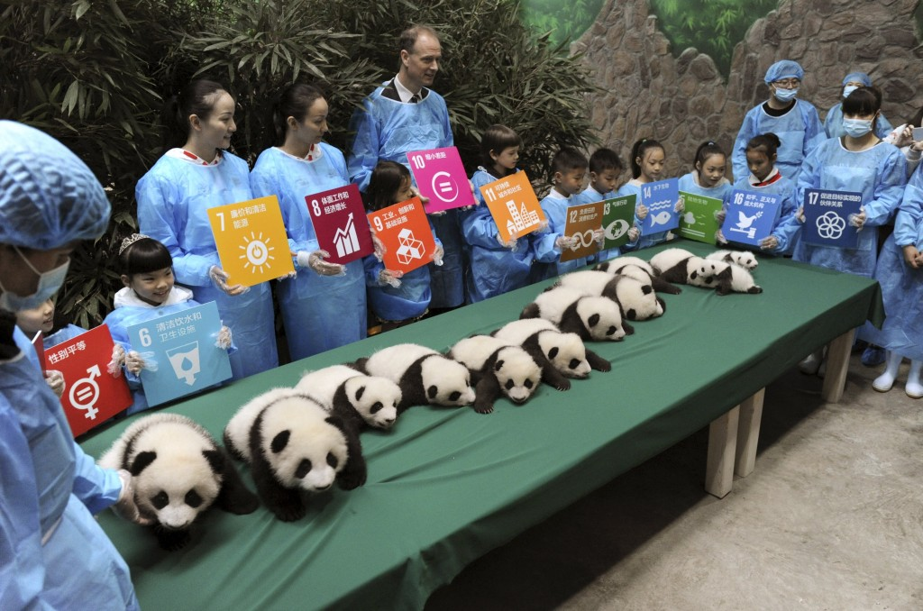 Giant panda cubs, which were born in 2015, are seen on display next to participants holding placards with their goals and wishes for the United Nations in the future, during a celebration to mark the 70th anniversary of the United Nations, at the Chengdu Research Base of Giant Panda Breeding in Chengdu, Sichuan province, China, October 24, 2015. A total of 13 giant panda cubs, including six pairs of twins, which were born in 2015 at the centre, were showed to their fans during the event on Saturday, local media reported. REUTERS/China Daily CHINA OUT. NO COMMERCIAL OR EDITORIAL SALES IN CHINA