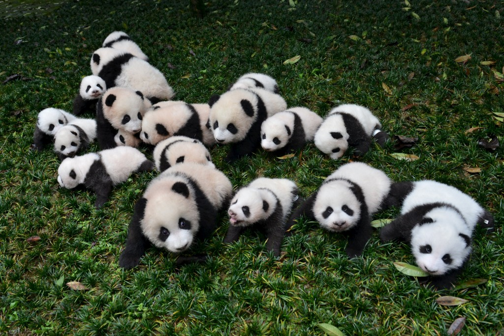 Baby pandas born in 2015 are placed on grass for pictures during a photo opportunity at a giant panda breeding centre in Ya'an, Sichuan province, China, October 24, 2015. About 18 pandas born in 2015 were shown to media at the centre last Saturday. Picture taken October 24, 2015. REUTERS/Stringer CHINA OUT. NO COMMERCIAL OR EDITORIAL SALES IN CHINA      TPX IMAGES OF THE DAY
