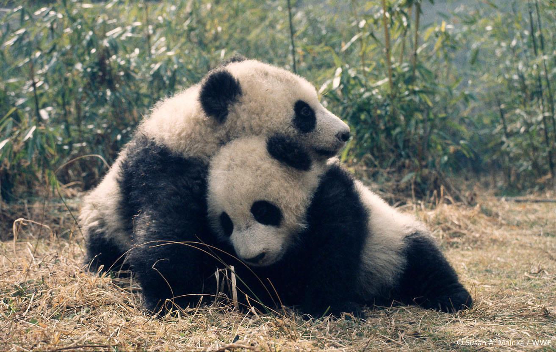 Giant panda population decreasing