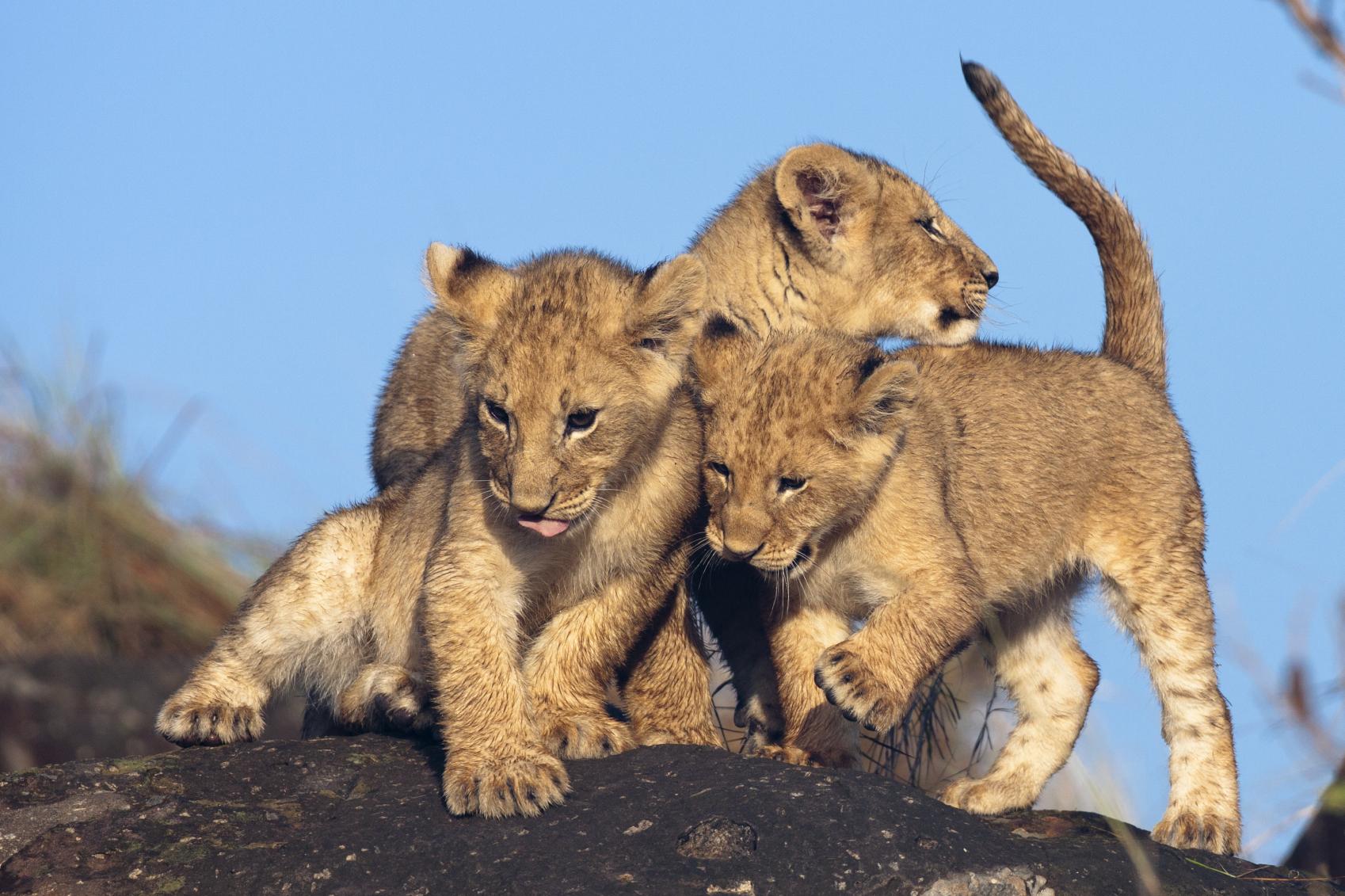 Lion cubs ( Panthera leo )
