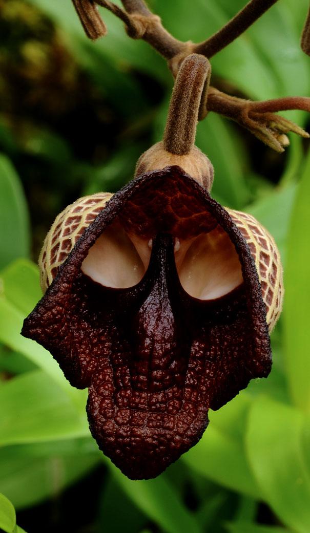 flowers-look-like-animals-people-monkeys-orchids-pareidolia-39