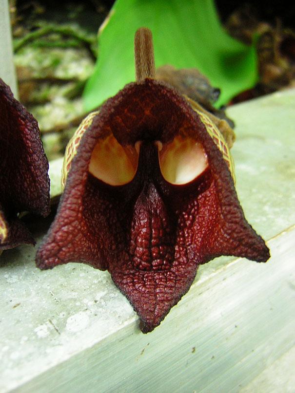 flowers-look-like-animals-people-monkeys-orchids-pareidolia-41