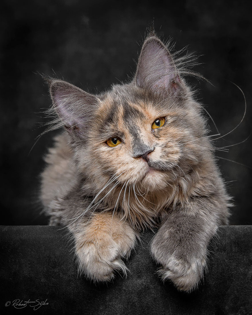 maine-coon-cat-photography-robert-sijka-23-57ad8ee420bcb__880