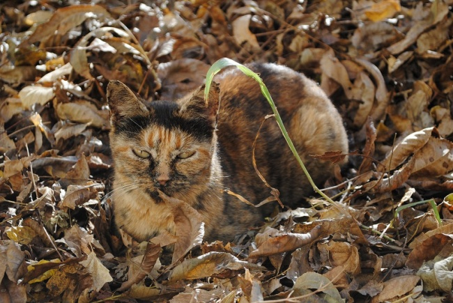 156255-the-world_s-top-10-best-images-of-camouflage-cats-3-650-2700c0a2be-1478497343