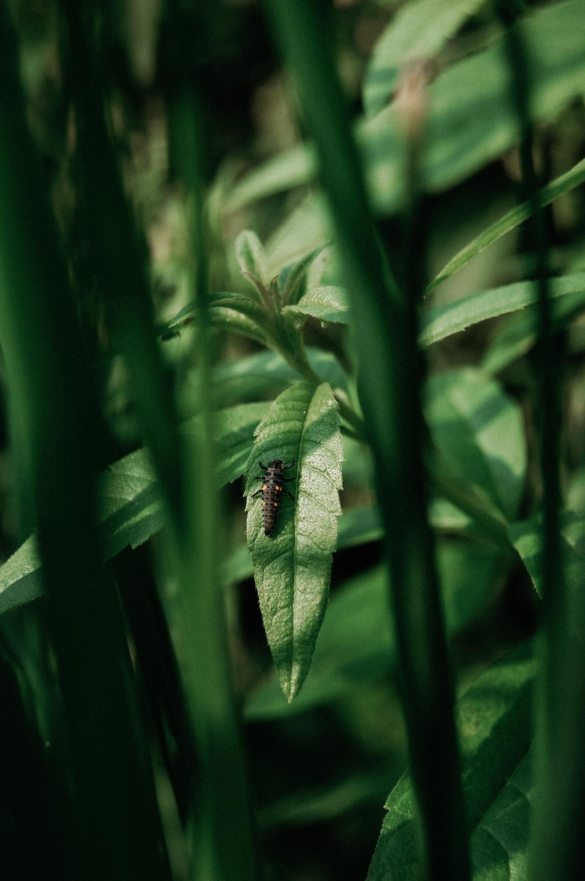 Krijg je de kriebel van beestjes? Weet dan dat ze gratis voor jou werken! Dit is de larve van een lieveheersbeestje, de bladluisbestrijders bij uitstek! (foto Angelo Dorny)