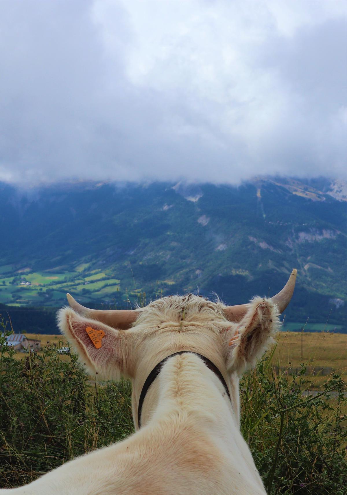 In Montclar genieten zelfs de koeien van de prachtige panorama's. (foto SRA)