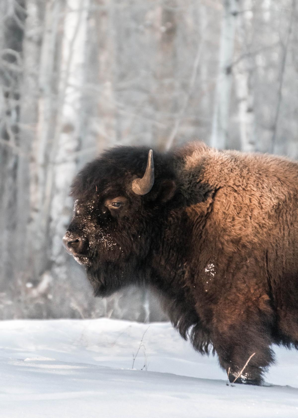 Indrukwekkend: een machtige bizon in een sneeuwwit landschap, zoals hier in Elk Island National Park, vlakbij Edmonton. (foto Sbedaux)©sbedaux