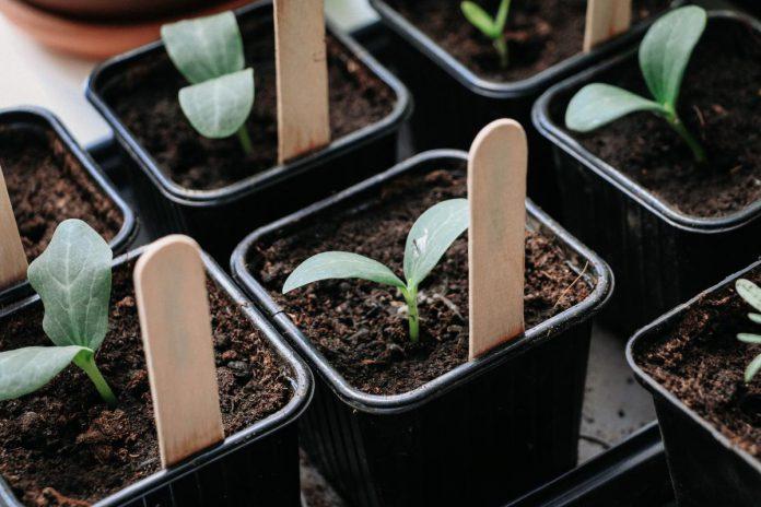"""Groenexpert Angelo Dorny: """"Vanaf half april zaai ik hier altijd de courgettes en pompoenen voor in potjes."""" (foto's AD)"""