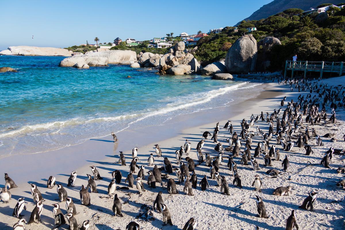 """Pinguins op het strand van Simons Town. """"Een gek idee voor kinderen"""". (foto Getty)©Jan-Otto Getty Images/iStockphoto"""