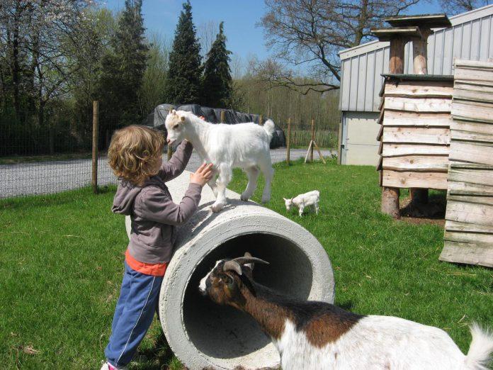 In 't Silsomhof kan je vrij de dieren bewonderen in de weiden. (foto 't Silsomhof)